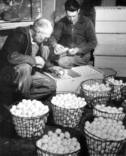 16-G-129-AAA-8208-W: Cache County, Utah. 12-41. Mr. Ballard and his son cleaning eggs in Cooling House. H.W. Ballard Farm.