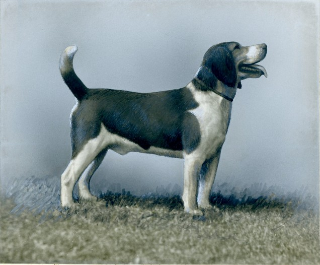 Beagle (17-HD-1-A001)