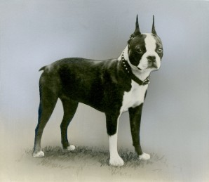 Boston Terrier (17-HD-1-B001)