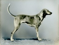 Fox Hound (17-HD-I001A)