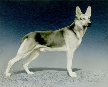 German Shepherd (17-HD-1-K001)