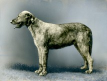 Irish Wolfhound (17-HD-1-P001)