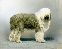 Old English Sheep Dog (17-HD-1-Q002)
