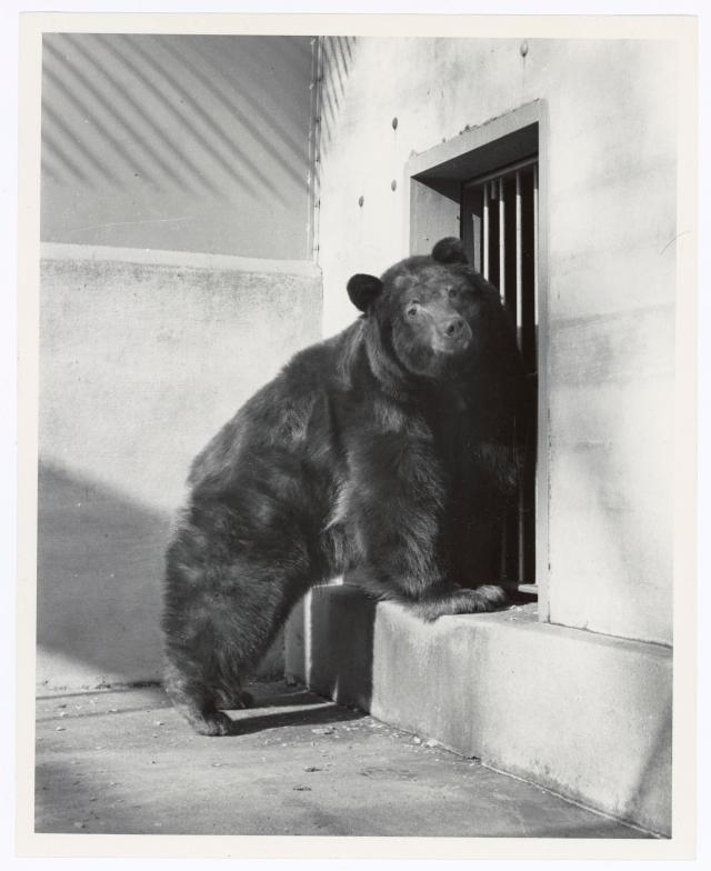 Smokey Bear in his cage at the Zoo in Washington, D.C. his home away from home, 1950. Local ID: 95-GP-117-501947.
