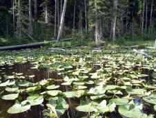 Surprising discoveries like this lake covered in lily pads greet visitors traveling in Yellowstone. Photo by Katie Armstrong of NSBO. (Local Identifier: 406-NSB-009-lillypad_ponds.jpg)