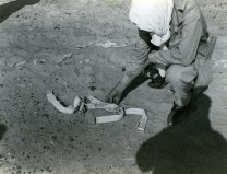 """A shoulder harness, a part of the B-24 """"Lady Be good"""" aircraft wreckage, with the name of the pilot, is discovered by a Libyan. The aircraft has been missing since a WWII mission. Local ID: 342-B-ND-074-7-113346"""